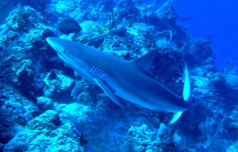 Reef Shark- T & C 2011
