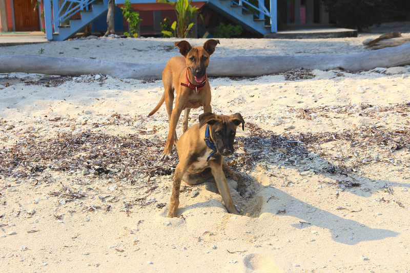Puppies!! Treasure Beach, Utila.