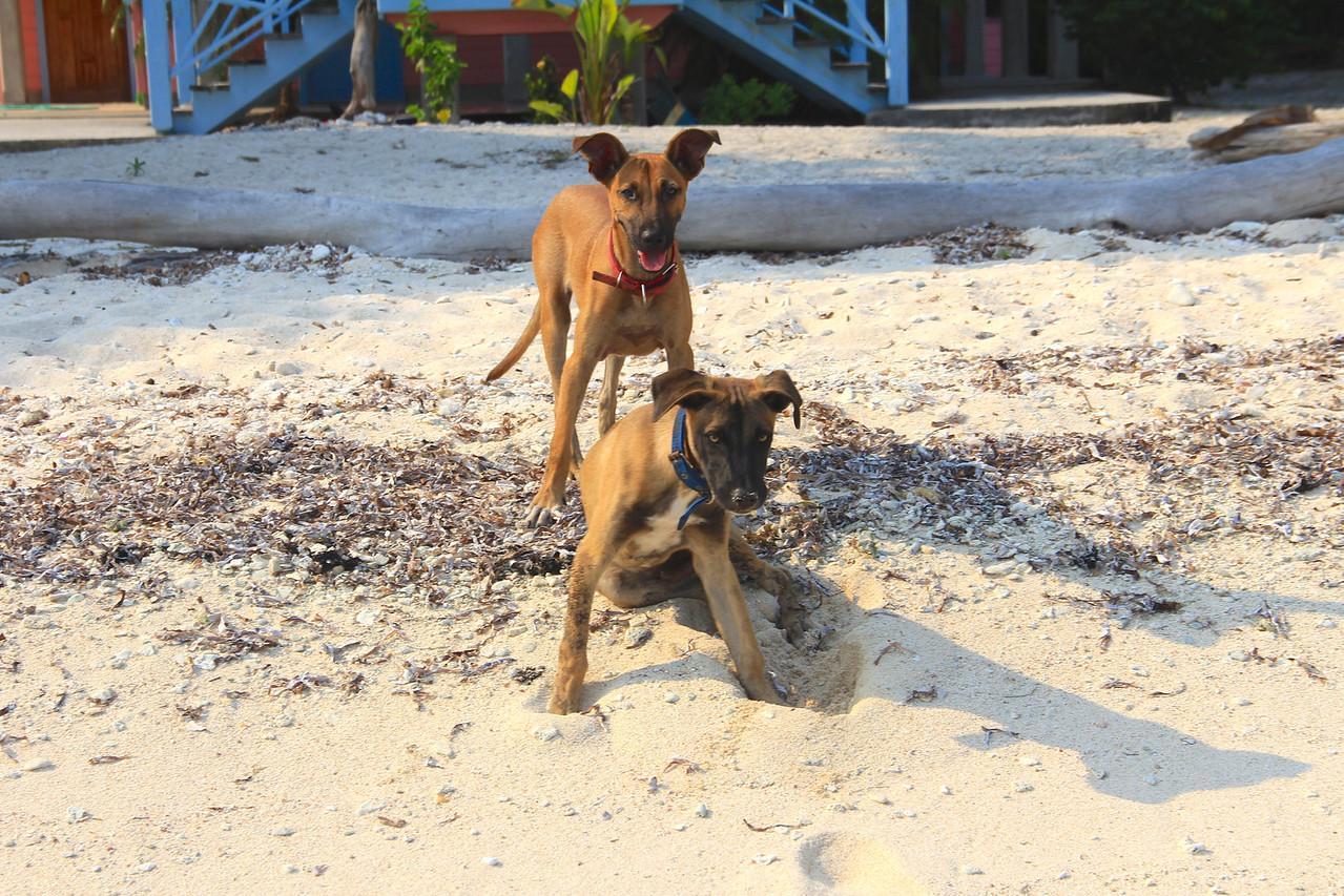 Puppies!! Treasure Beach, Utila.