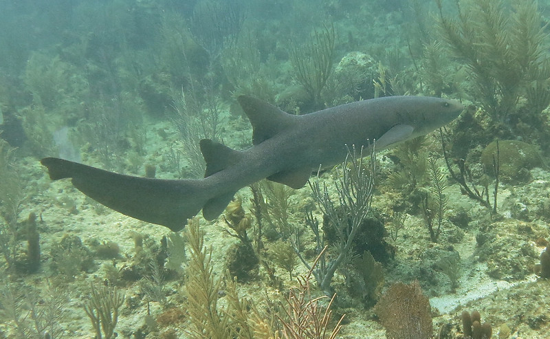 Nurse Shark-With Utila Cays Diving
