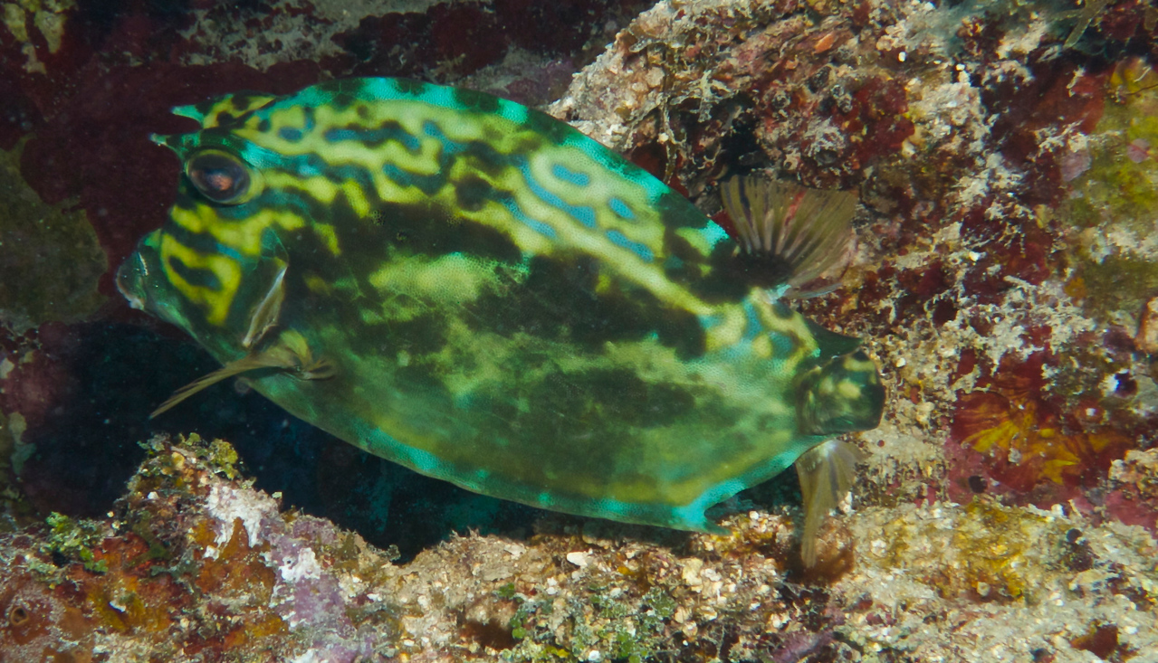 Cowfish missing its tail. Diving with Utila Cays Diving