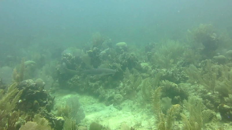 Nurse Shark-With Utila Cays Diving. Click the 1080 option for viewing.
