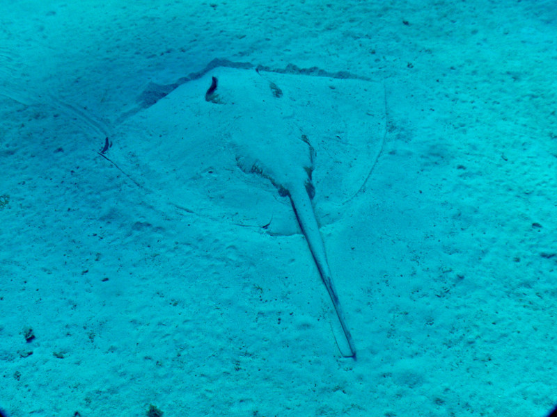 Sting Ray with 6 foot wingspan hiding in the sand at 100 feet. BVI