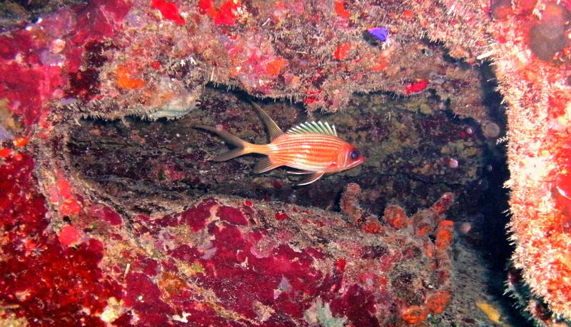 Squirrel Fish, BVI.