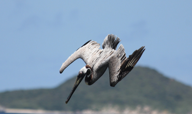Pelican, Little Dix Bay, Virgin Gorda BVI