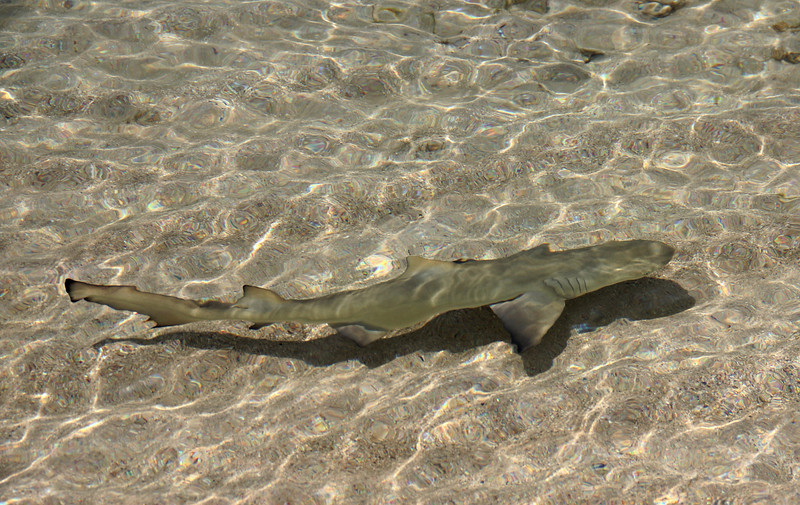 Baby Lemon Shark in 6 inches of water. Little Dix Bay, Virgin Gorda.