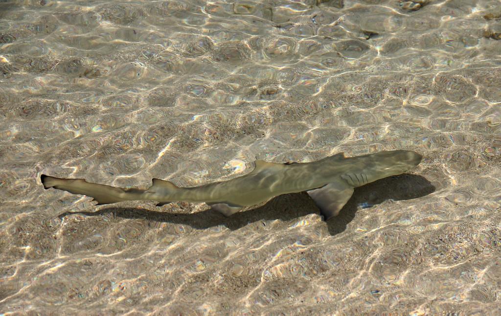 Baby Lemon Shark in 6 inches of water. Little Dix Bay, Virgin Gorda.