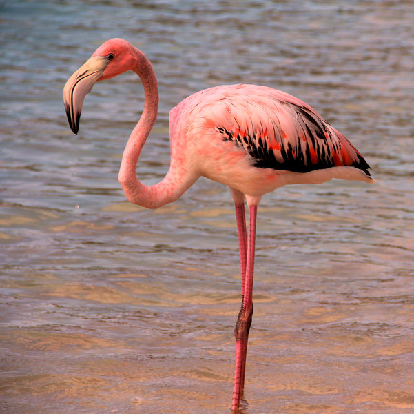 Pink Flamingo flew from Necker Island to Virgin Gorda during Hurricane Irene. Sad because it was all alone without food. Hopefully it was rescued. Devils Bay, Virgin Gorda, BVI.