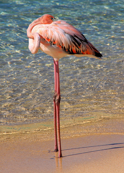 Pink Flamingo flew from Necker Island to Virgin Gorda during Hurricane Irene. Sad because it was all alone without food. Hopefully it was rescued. Devils Bay, Virgin Gorda, BVI