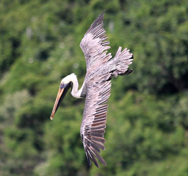 Pelican, Little Dix Bay, Virgin Gorda BVI