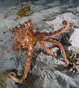 """mimic"" octopus, this octo did some amazing transformations"