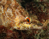 Painted greenling - lots of them were out