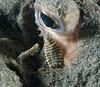 leech crawling on a fish