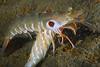 Mating target shrimp ?