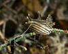 black dorid with skeleton shrimp