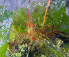unk. shrimp hiding in sea lettuce