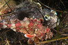 baby scorpionfish & female sarcastic fringehead