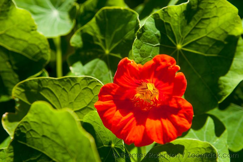 Nasturtium Full Bloom