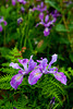 Oregon Irises (Iris tenax) grow along the cliff edges of Shore Acres State Park, near Coos Bay, Oregon.