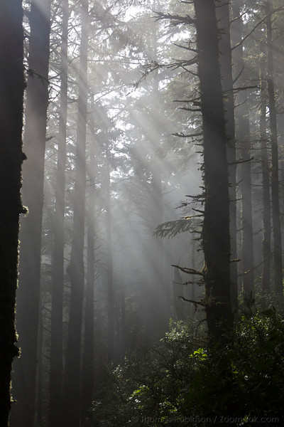 Light beams stream through the forest at Cape Lookout on the Oregon Coast.