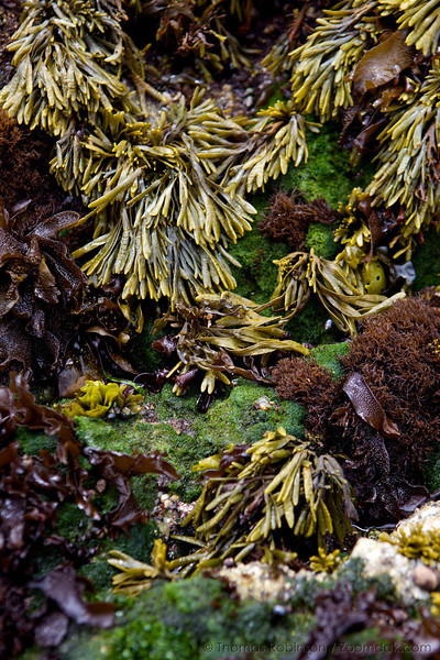 A variety of kelp await the incoming tide. Species include pelvitiopsis, cladophora, endocladia, mastocarpus, and mazzella parksii.