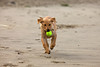 Bella fetches and returns with the tennis ball. Puppies love to play on the beach!
