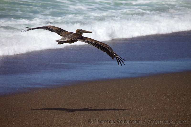 A Brown Pelican (Pelecanus occidentalis) takes flight over the waves at Moonstone Beach in Cambria, California.
