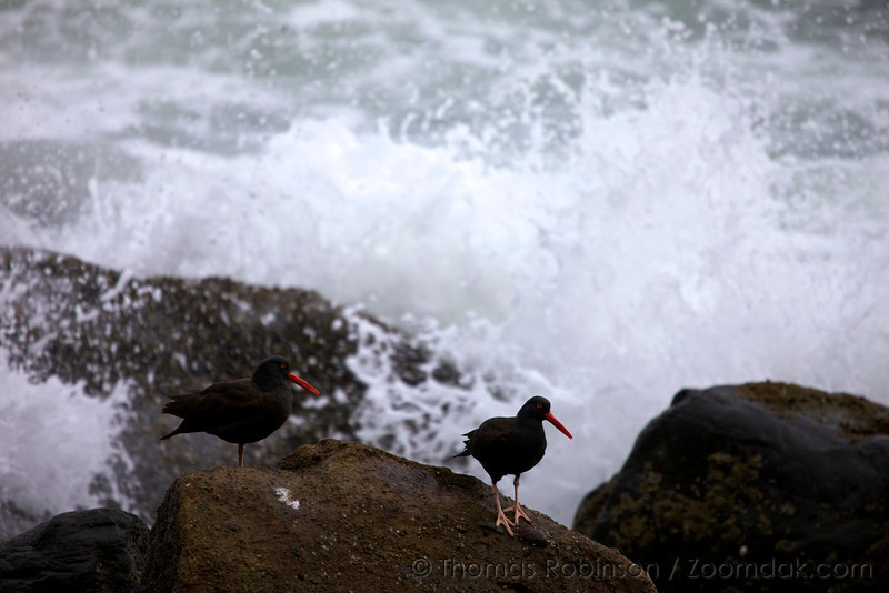 Two black oystercatchers (Haematopus bachmani) withstand the elements of nature on the rocky intertidal shore of the Oregon Coast near Arch Cape. Oyster catchers are quite territorial but usually stay together as pair.