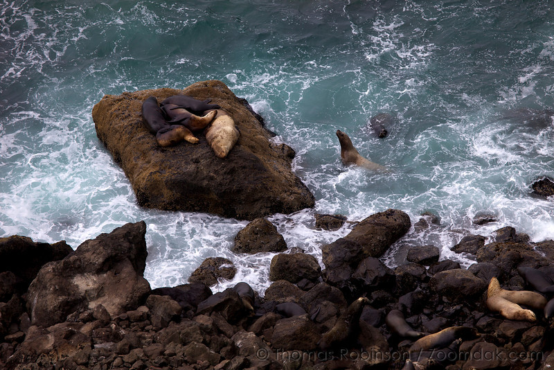A colony of California sea lions (Zalophus californianus) lounge upon the rocks and swim in the surf below Heceta Head.