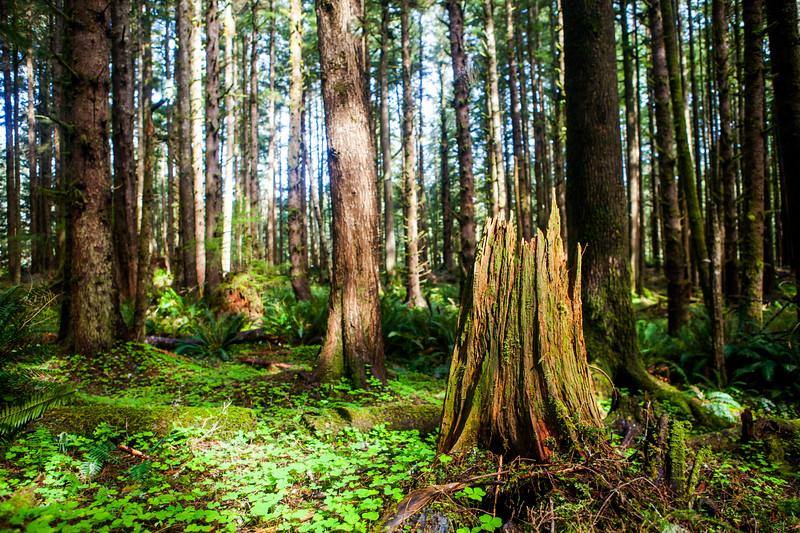 Sun Dappled Oregon Rainforest