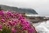 Shoreline Sea Thrift