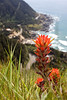 An Indian Paintbrush sprouts through the grass at the top of Cape Perpetua along the Oregon Coast.