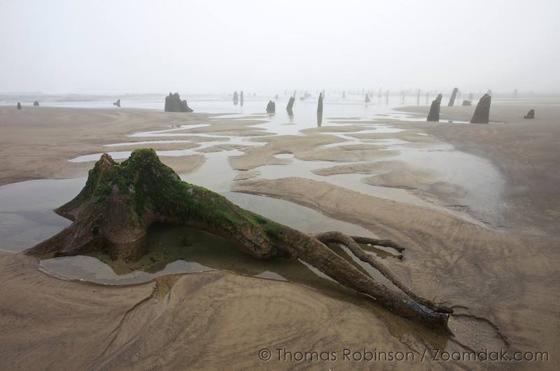 An exposed stump and root system sits in a tidepool in the fog before sunrise in the ghost forest, Neskowin, Oregon. <br /> <br /> Though nobody knows the origins of the ghost forest, it is theorized that sometime within the last 2,000 years a cataclysmic earthquake caused this chuck of forest to drop to sea level. Then preserved by sand and mud, they are around today rather than naturally eroding.