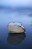 A clam shell lies open in the evening light at Birch Bay near Bellingham, Washington.