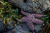 A purple sea star (Pisaster ochraceus) awaits the tide among the algea at Yachats State Park on the Oregon Coast.