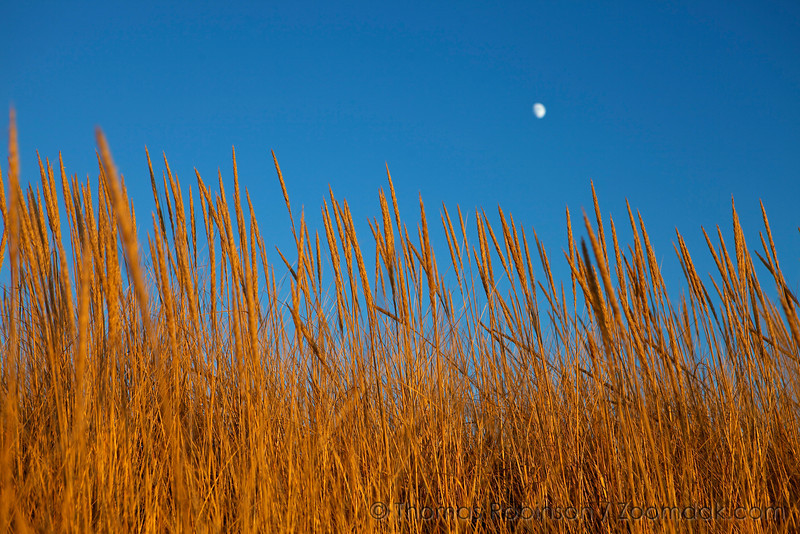 The moon rises over golden dune grass in Seaside, Oregon.