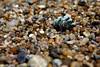 A marine mollusk (Mopalia muscosa) washed up in the pebbles of Ribera Beach near Carmel, California.