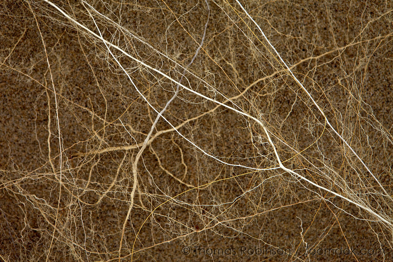 Root Synapses