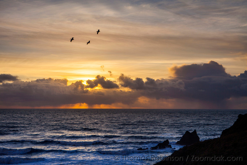 Three pelicans (Pelecanus occidentalis) in flight silhouetted against the cloudy golden sunset sky from Ecola State Park on the Oregon Coast.