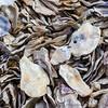 Abundant Oyster Shells