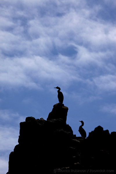 Two Pelagic Cormorants