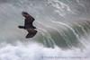 Soaring Turkey Vulture and Sea