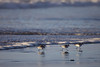 A ponderance of three snowy plovers (Charadrius nivosus) run along the water's edge in Seaside Oregon.