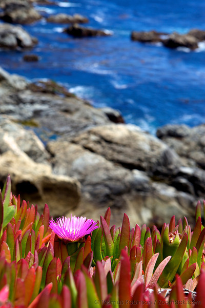 A lone sea fig (Carpobrotus chilensis) grows along the cliff edge at Garrapata State Park.