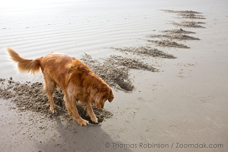 Hubba, a golden retriever digs holes as an art piece in Cannon Beach. <br /> <br /> Who says dogs can't make art?