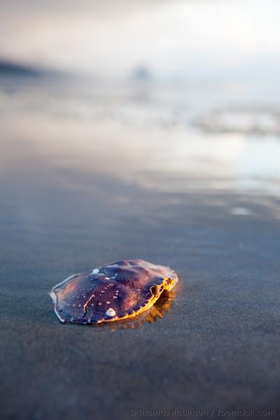 Crab Shell at Sunset