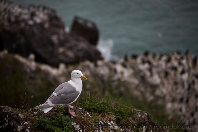 A pacific seagull (Larus pacificus) perches above the rocks at Heceta Head viewpoint.