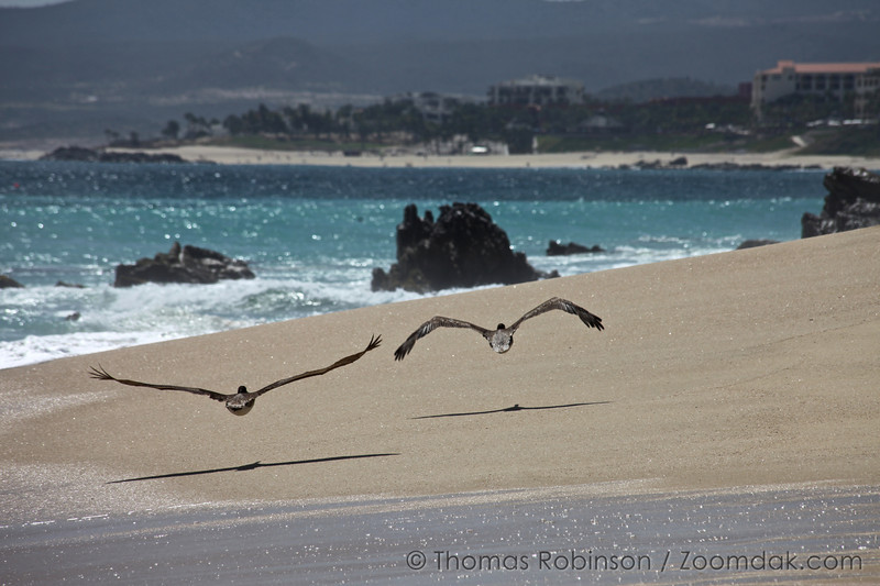 Pelicans fly along the beach of the Gulf of California (Sea of Cortez) in Baja, Mexico.