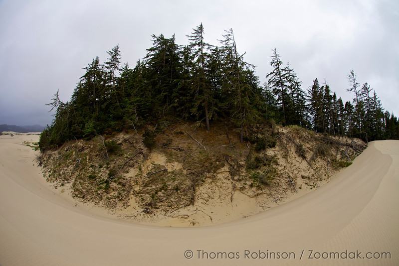 A hillock of forest grows among the massive dunes area of National Sand Dunes Recreation Area, John Dellenback Dunes.