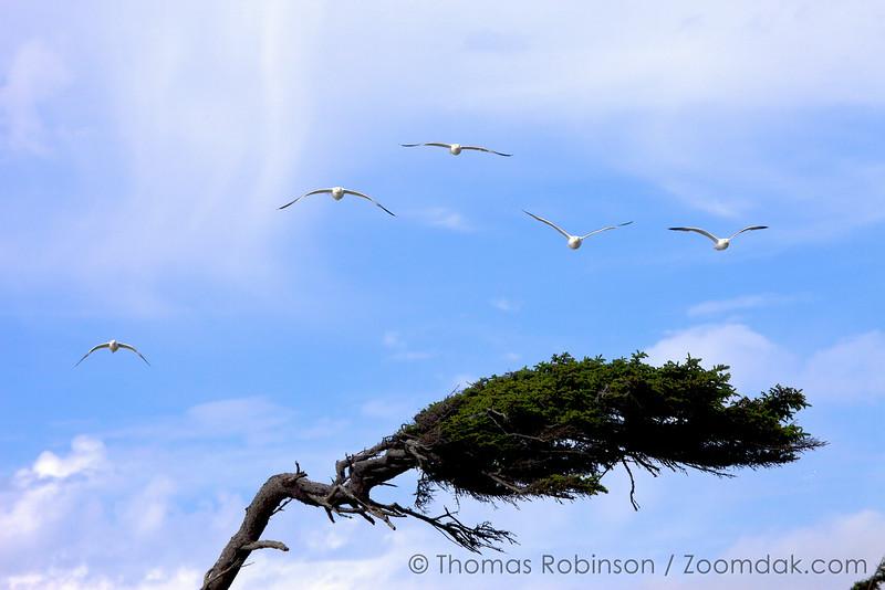 Windswept Tree and Seagulls